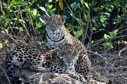 jaguarcubs