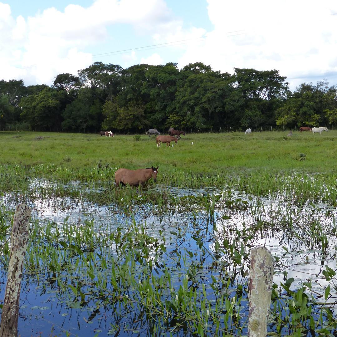 Pantanal horse