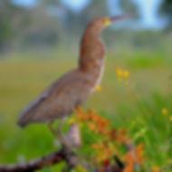 Socó-boi, uma ave típica do Pantanal. Es