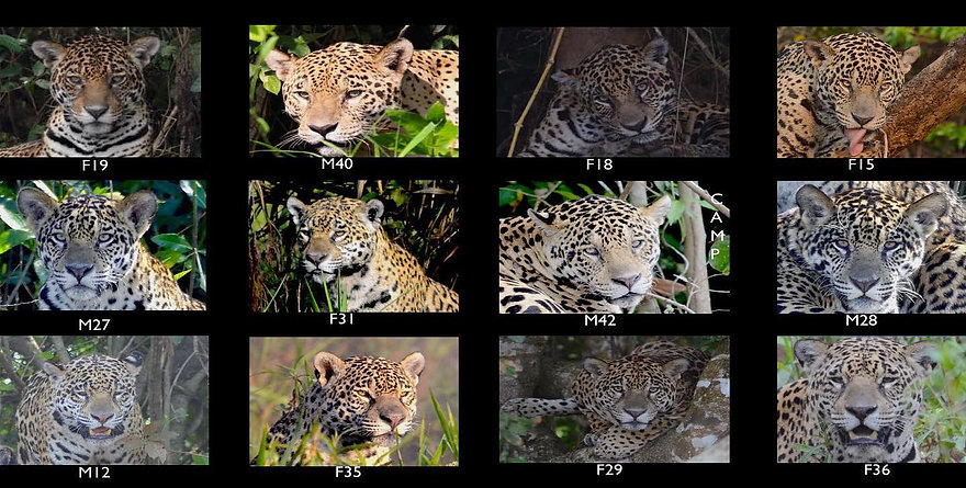 jaguar IDS of 2019 - Porto Jofre.jpg