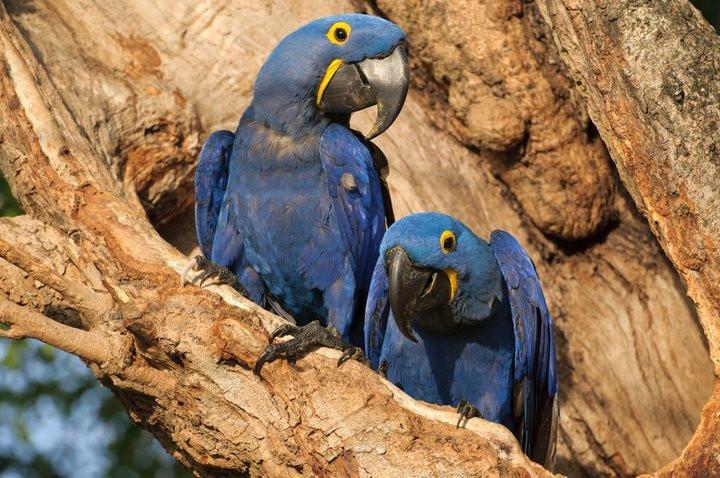 hyacinth macaw at Jaguar Camp