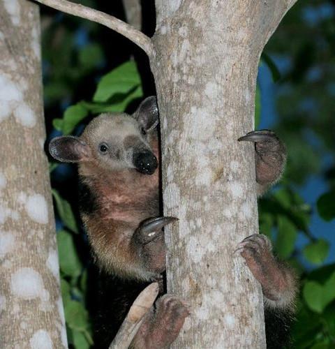 anteater at Pantanal Jaguar Camp
