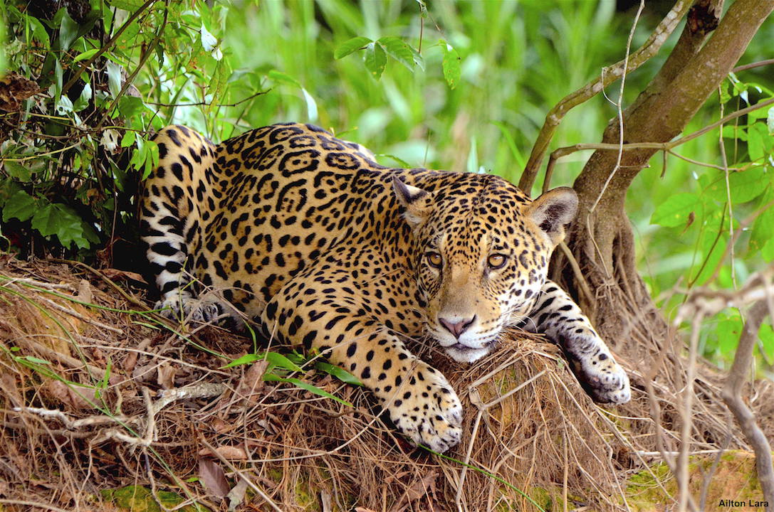 pantanal nature , jaguar tours
