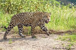 jaguar camp