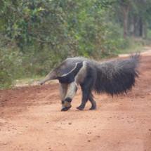 Giant anteater on safari ride