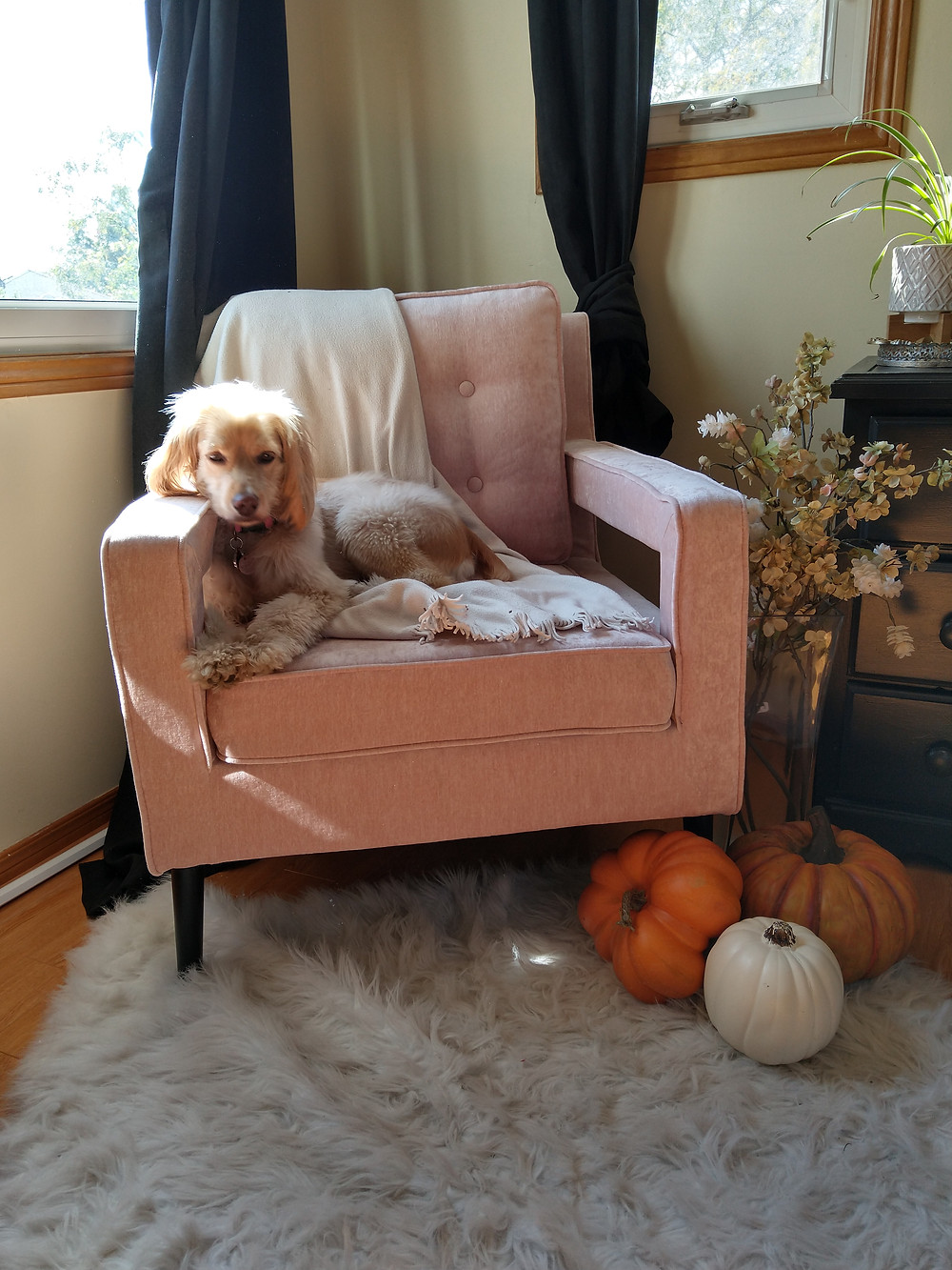 dog sitting on pink chair with fall home decor around her