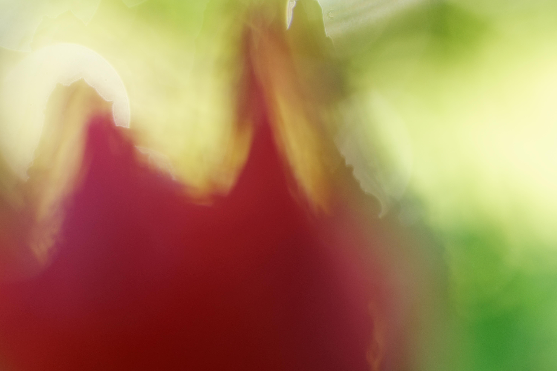 Tulipe abstraite