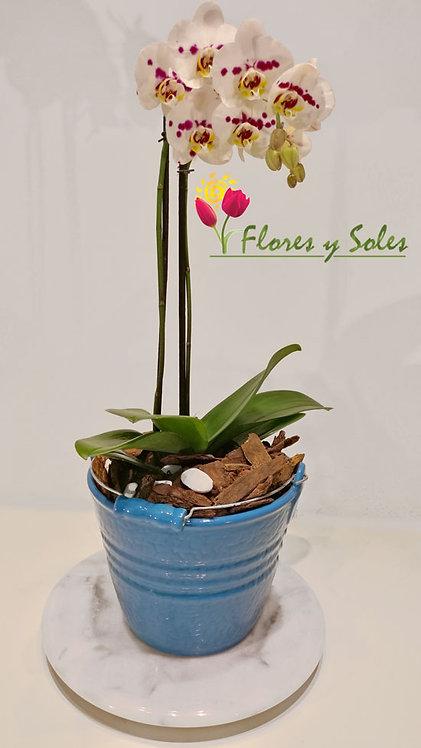 Orquídea Cubeta