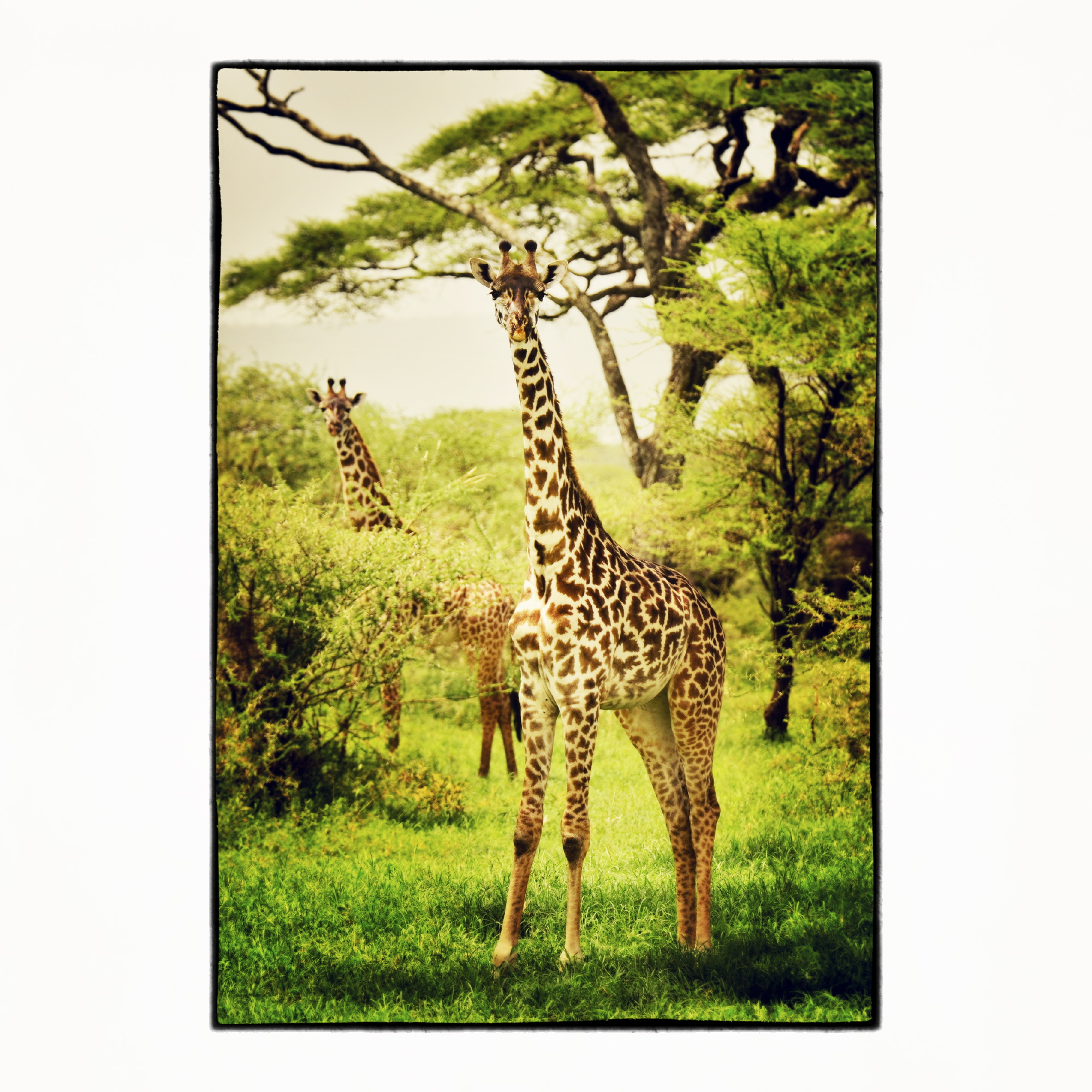 20x20 Portrait of Giraffes