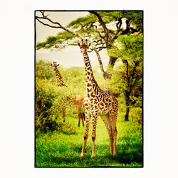 20x20 Portrait of Giraffes
