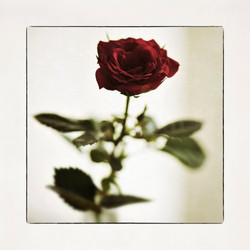 20x20 0016 A rose by the window