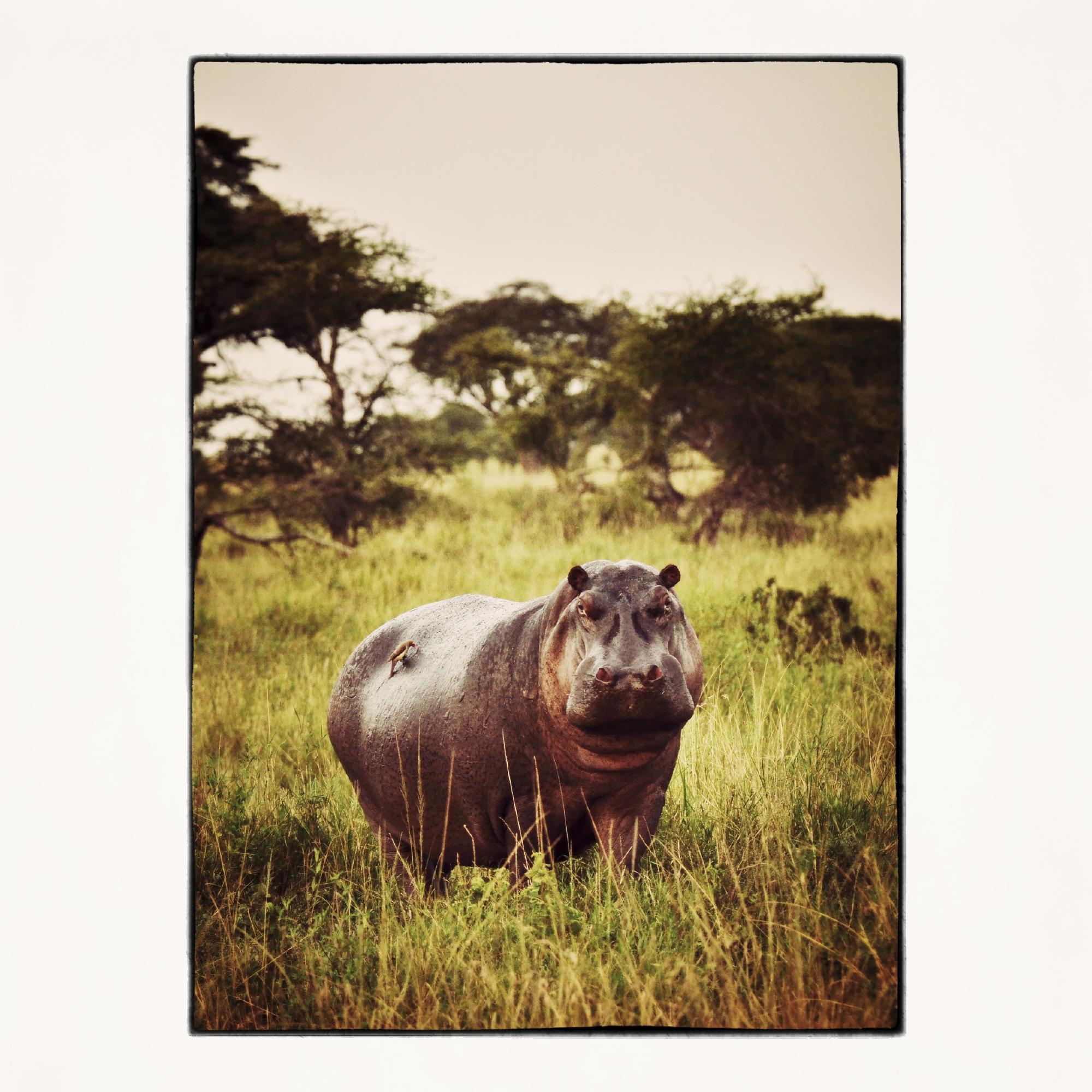 20x20 hippo