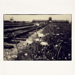 20x20 Auschwitz Flowers