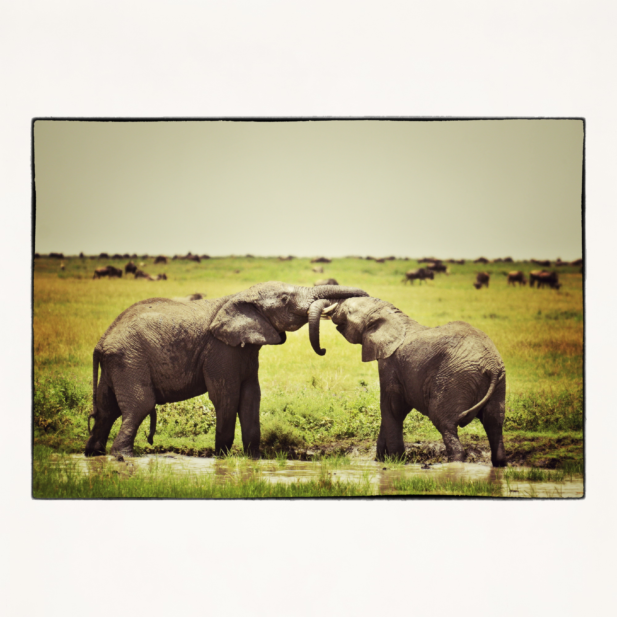 20x20 kissing elephant in Tanzania