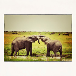 20x20 kissing elephant in Tanzania