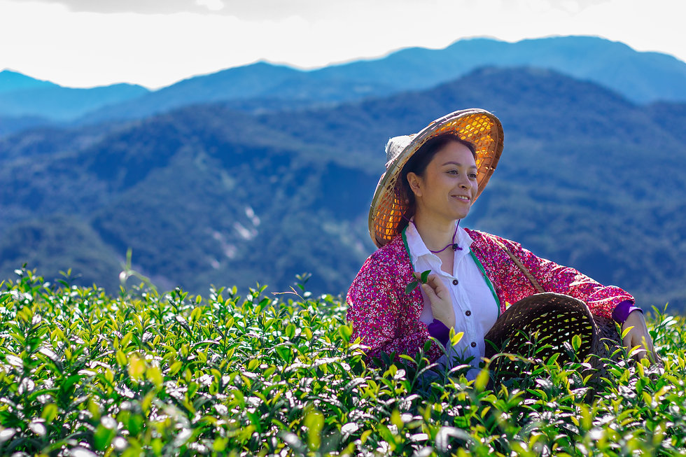 Picking tea in Alishan.jpg