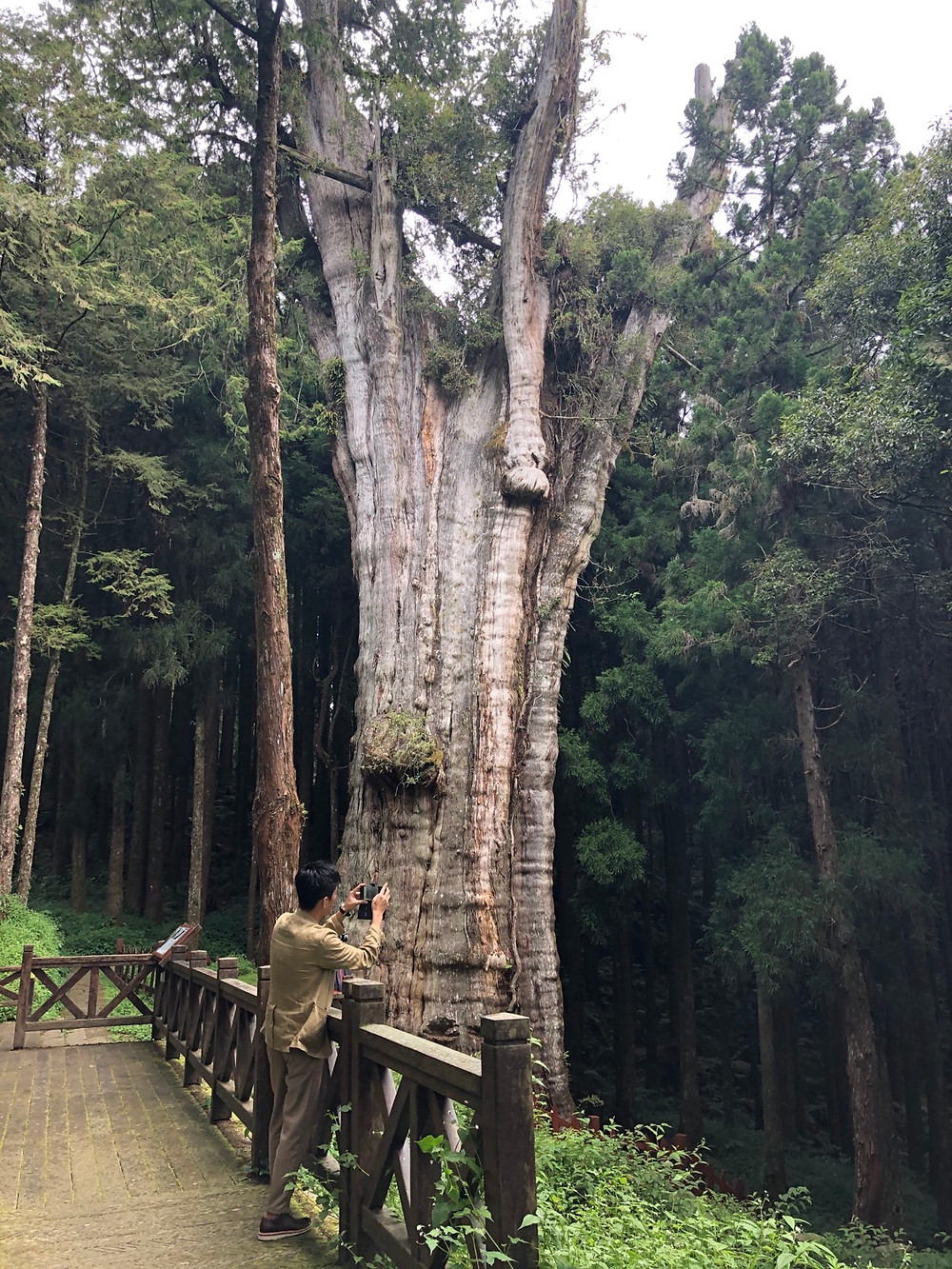 Giant Plank Tree Trail 巨木群棧道