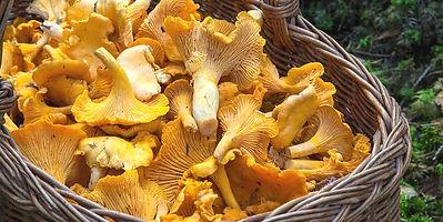 Funghi gallinacci.jpg