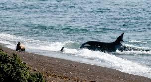 Los mejores sitios para ver orcas respetando las pautas de avistamiento