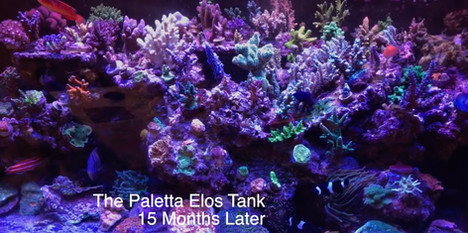 The Paletta ELOS SPS Dominated Show Tank - 12 Months of Hell - Growing SPS Coral