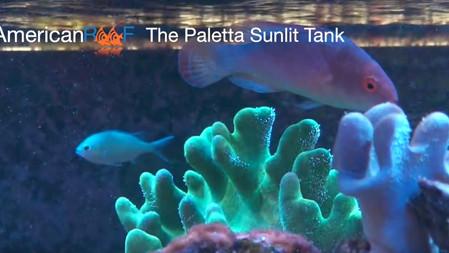 Paletta Sunlit Tank Update - IV - AmericanReef ReefKeeping Videos