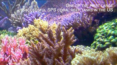 One of the first successful beautiful large SPS dominated reef tanks in America