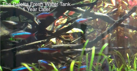 The Paletta Planted Tank - One Year Later