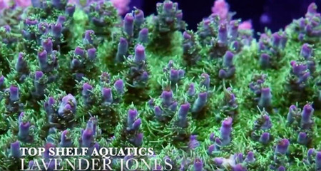 Top Shelf Aquatics - Behind the Curtains at One of the Premier Retail and Online Coral & Fish Stores