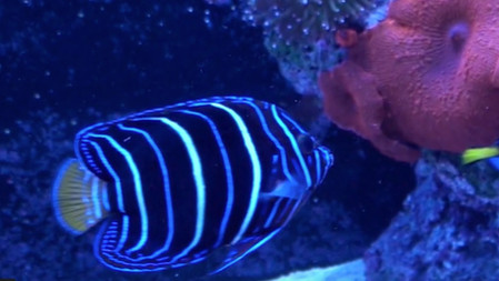 Common Saltwater Fish Disease - Lymphocystis - HPD can help get rid of ich and other fish diseases
