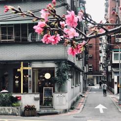 澳氏咖啡對面即有顆櫻花樹