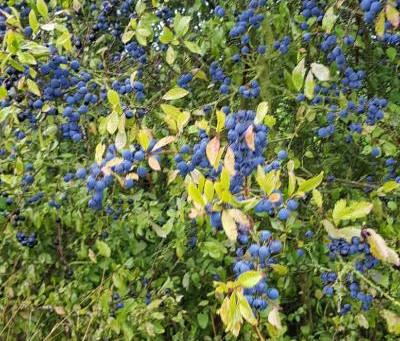 We are picking lots of sloes, where did the summer go!!!!