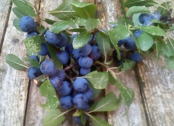 PRE ORDER (2021) FRESH SLOEBERRIES (1LB) 25 % DISCOUNT THROUGHOUT MAY