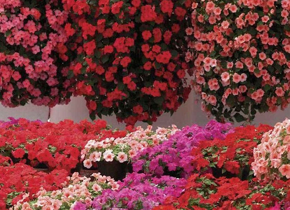 PRE ORDER BUSY LIZZIES (IMPATIENS) SUMMER WATERFALL (TRAILING)