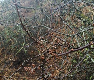 The blackthorn is coming back to life.