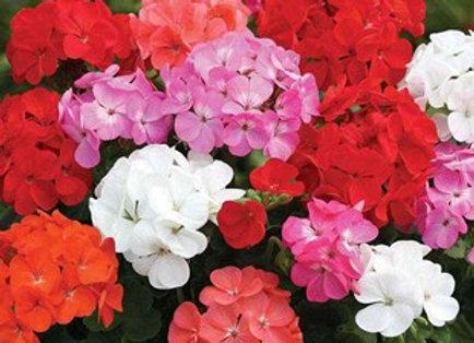 PRE ORDER GERANIUM PARADE PLUG PLANTS