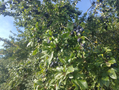 A month into the sloe picking season.