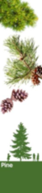 pine_150dpi.jpg