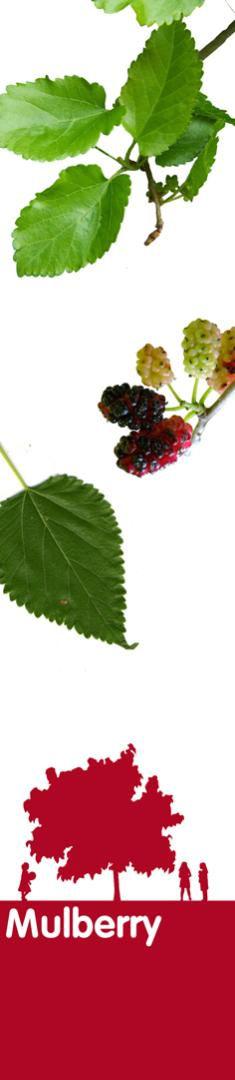 mulberry_150dpi.jpg