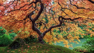 Trees of Japan: Portland Japanese Garden and the Peter Lik Tree