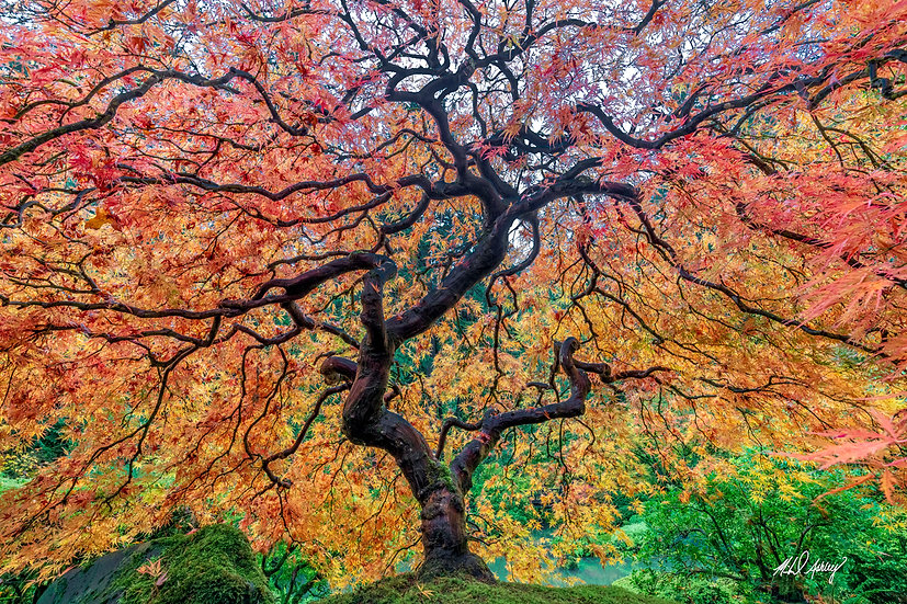 Orange Flame Japanese Maple