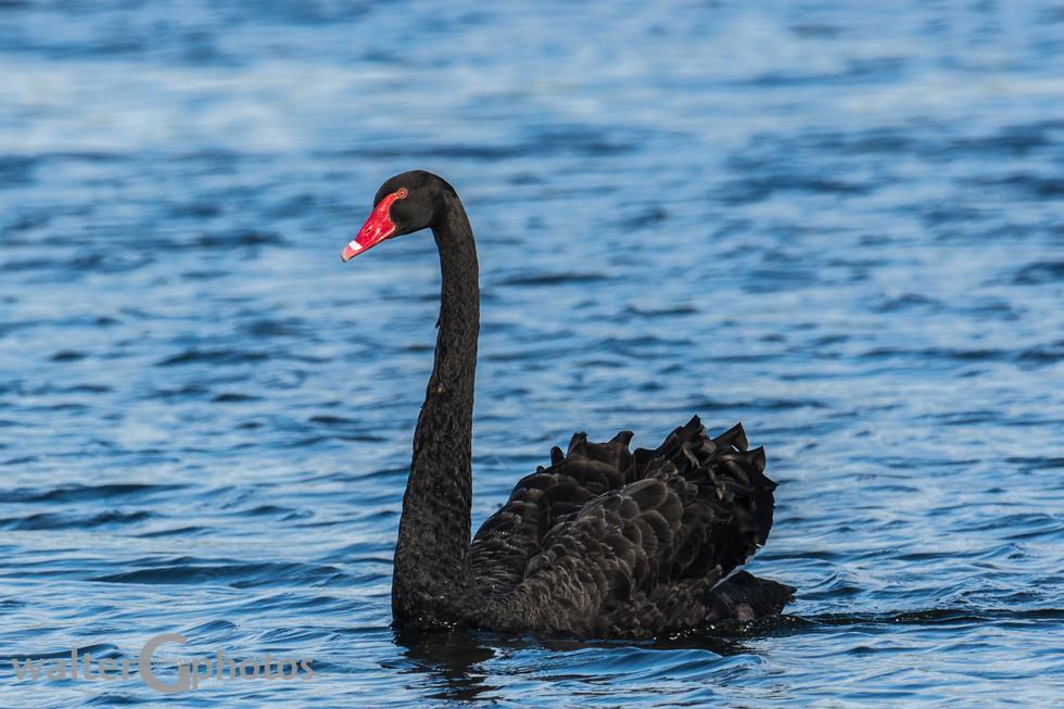 Black Swan, Rotorua