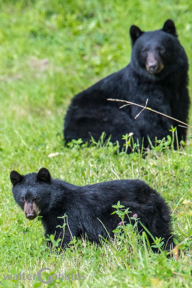 Black Bear & Cub