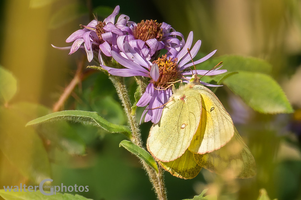 Arctic Aster with butterfly