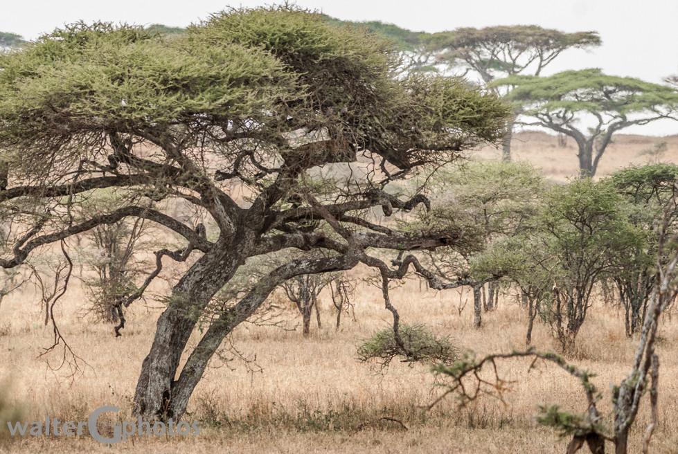 Leopard - in the tree