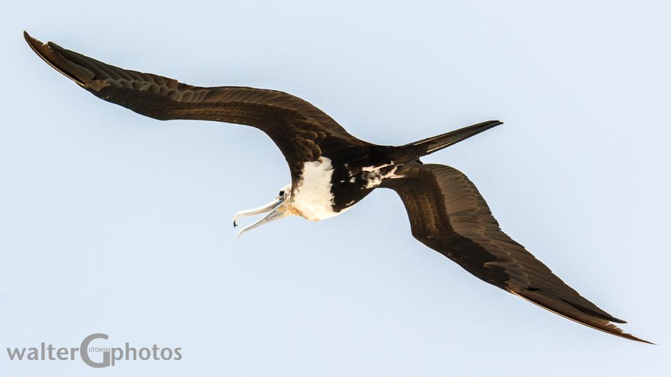 Frigatebird, Michaelmas Cay