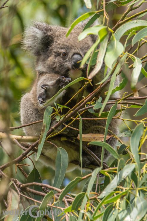 Baby koala, Great Ocean Road, Australia
