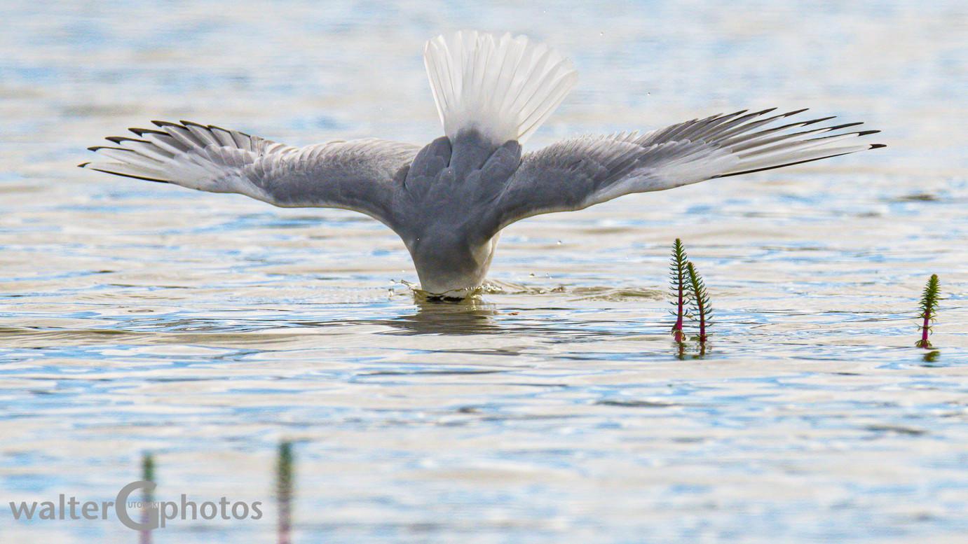 Bonaparte Gull Fishing