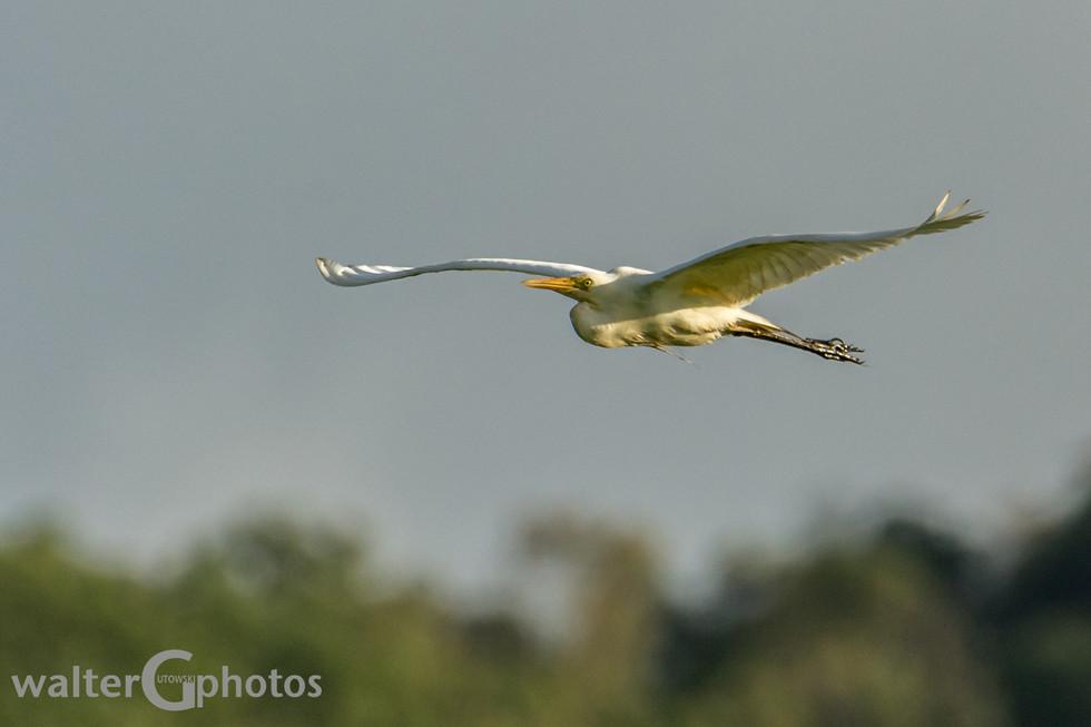 Little Egret, Townsville