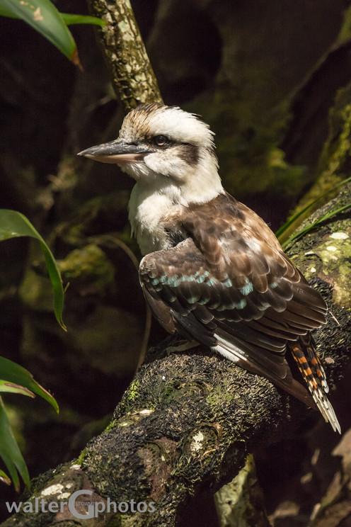 Blue-winged Kookaburra, Australia Zoo