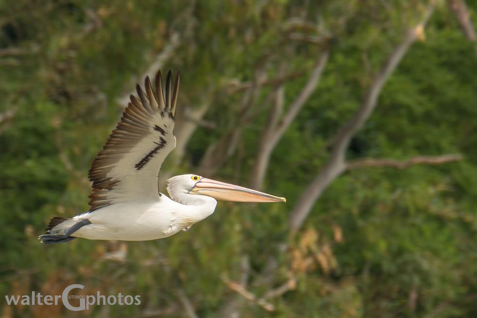 Pelican, Brisbane